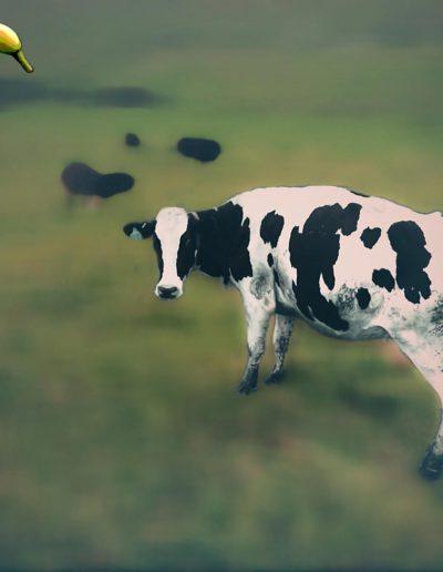 #16 - Sun Cow
